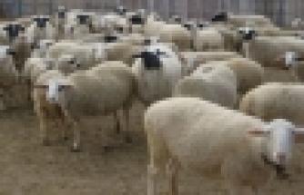 Kayabaşı köyünde 17 koyun çalındı