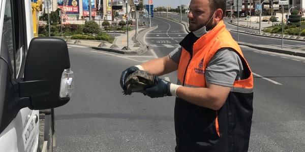 Sokağa Çıkma Yasağı En Çok Hayvanlar Alemine Yaradı...Cadde Ortasında Kaplumbağa...